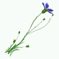 Plant-Flax.png