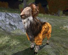 Chèvre du Rubbicorne