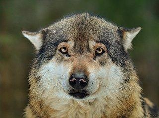 Cliquez sur l'image pour la voir en taille réelle  Nom : loups_vesubie_alpha_toga_cheztoga_photo.jpg Taille : 1000x745 Poids : 795,5 Ko ID : 186290