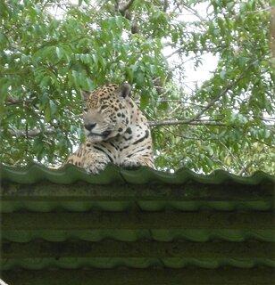 Cliquez sur l'image pour la voir en taille réelle  Nom : 18-05-16 zoo c jaguar1.jpg Taille : 1576x1636 Poids : 703,1 Ko ID : 625605