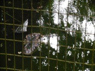 Cliquez sur l'image pour la voir en taille réelle  Nom : 18-05-16 zoo a caiman noir2.jpg Taille : 4608x3456 Poids : 1,98 Mo ID : 625606