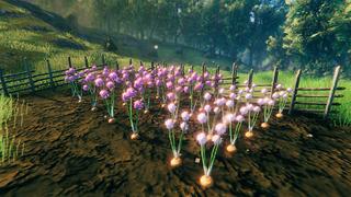 Oignons en fleur